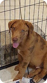Australian Shepherd/Great Pyrenees Mix Puppy for adoption in Royal Palm Beach, Florida - Sail