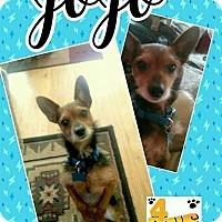 Adopt A Pet :: Jojo - Fenton, MO