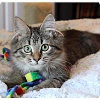 Maine Coon Cat for adoption in Savannah, Georgia - Abraham Lincoln