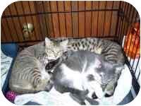 Domestic Shorthair Kitten for adoption in Grand Rapids, Michigan - Scared Sammy