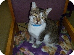 Domestic Shorthair Cat for adoption in Hamburg, New York - Louie