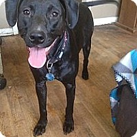 Labrador Retriever Mix Dog for adoption in Pittsburg, Kansas - Junebuggy