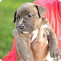 Adopt A Pet :: Mozart - Reisterstown, MD