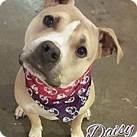 Adopt A Pet :: Daisy - Cedar Rapids, IA