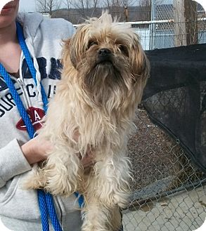Yorkie, Yorkshire Terrier Mix Dog for adoption in Martinsville, Indiana - Grover
