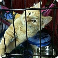 Adopt A Pet :: Tang - Byron Center, MI