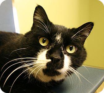 Domestic Shorthair Cat for adoption in Hastings, Nebraska - Mr. Bickles
