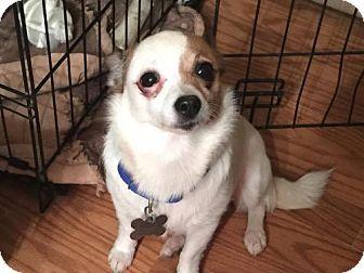 Chihuahua Mix Dog for adoption in Alpharetta, Georgia - Annabeth