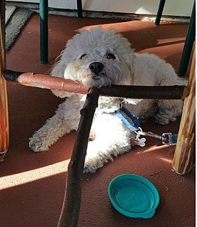 Maltese/Poodle (Miniature) Mix Dog for adoption in Woodland Hills, California - Bo