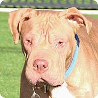 Shar Pei/Mastiff Mix Dog for adoption in Grass Valley, California - Nero