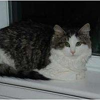 Domestic Mediumhair Cat for adoption in Auburn, California - Yolanda