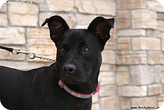 Pit Bull Terrier Mix Dog for adoption in Newcastle, Oklahoma - Marie