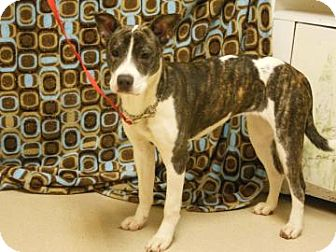 American Pit Bull Terrier Mix Puppy for adoption in Gary, Indiana - Destiny