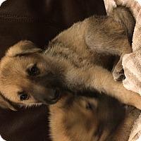 Adopt A Pet :: Gretel - Dallas, TX