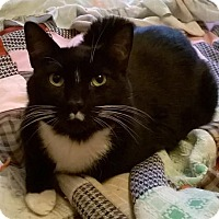 Domestic Shorthair Cat for adoption in Vancouver, Washington - Rascal