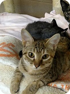 Domestic Shorthair Cat for adoption in Maryville, Tennessee - Evie