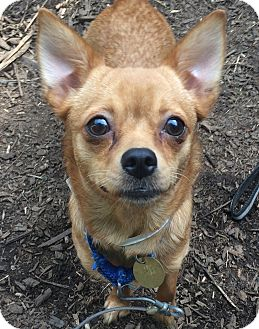 Pomeranian/Chihuahua Mix Dog for adoption in Oak Ridge, New Jersey - Bebe