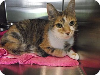 Domestic Shorthair Cat for adoption in Chambersburg, Pennsylvania - Tinker Bell