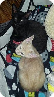 Oriental Kitten for adoption in Sarasota, Florida - Jinx