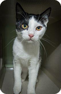 Domestic Shorthair Kitten for adoption in New York, New York - Lexi