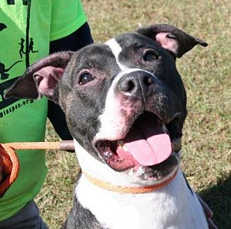 American Bulldog/Labrador Retriever Mix Dog for adoption in Decatur, Georgia - Klutch - A Dude's BF!