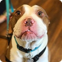 Boxer/American Pit Bull Terrier Mix Dog for adoption in Dayton, Ohio - Ryker