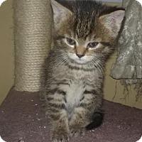 Adopt A Pet :: Lb Litter - Nashi - APPLICATIONS CLOSED - Livonia, MI