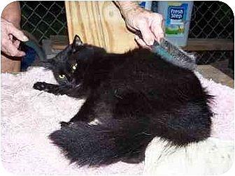 Domestic Longhair Cat for adoption in Winnsboro, South Carolina - Dahlia