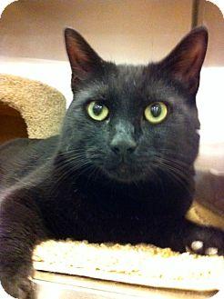 Domestic Shorthair Cat for adoption in Warminster, Pennsylvania - Dillinger