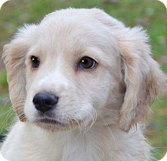 White golden retriever puppies in virginia