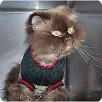 Adopt A Pet :: Trekkie - Arlington, VA