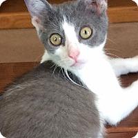 Adopt A Pet :: Sophia - Audubon, NJ