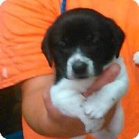 Adopt A Pet :: Stanley - Clarksville, TN
