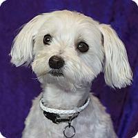 Adopt A Pet :: Snoball - Covina, CA