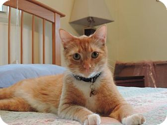 Domestic Shorthair Cat for adoption in Royal Palm Beach, Florida - Ollie