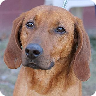 Redbone Coonhound Mix Dog for adoption in Springfield, Illinois - Riley