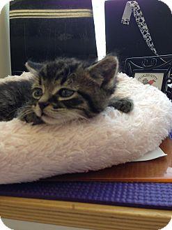 Domestic Mediumhair Kitten for adoption in Fountain Hills, Arizona - AQUARIUS