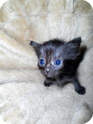 Domestic Shorthair Kitten for adoption in Xenia, Ohio - Jessie