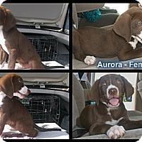 Adopt A Pet :: Aurora - Cumming, GA