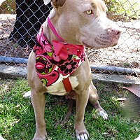 Pit Bull Terrier Dog for adoption in Irvine, California - Jackie Brown