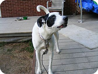 Great Dane Mix Dog for adoption in Baden, Pennsylvania - Woody