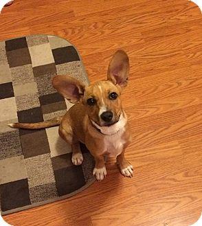 Labrador Retriever Mix Puppy for adoption in Va Beach, Virginia - Leia
