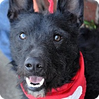 Standard Schnauzer Mix Dog for adoption in Fairfax Station, Virginia - Tuker