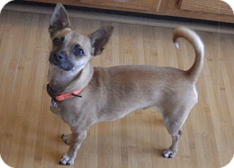 Chihuahua Mix Dog for adoption in Quail Valley, California - Bruiser