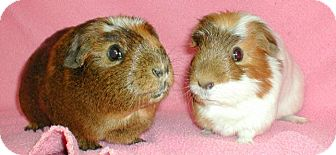 Guinea Pig for adoption in Steger, Illinois - Bailey