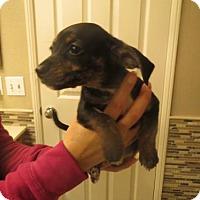 Adopt A Pet :: Chi Chi Dashchund - Moreno Valley, CA