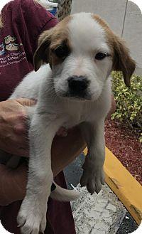 Terrier (Unknown Type, Medium) Mix Puppy for adoption in Royal Palm Beach, Florida - Bernie