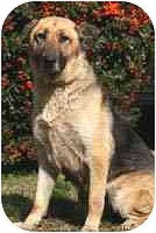 German Shepherd Dog Dog for adoption in West Los Angeles, California - Opal