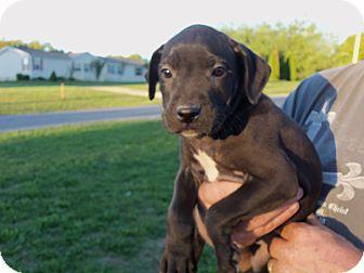 Boxer/Labrador Retriever Mix Puppy for adoption in Pilesgrove, New Jersey - Boxer/labrador Puppies
