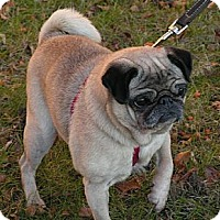 Adopt A Pet :: Sweetie - Rigaud, QC